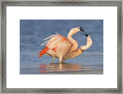 European Flamingo Pair Courting Framed Print by Ronald Kamphius