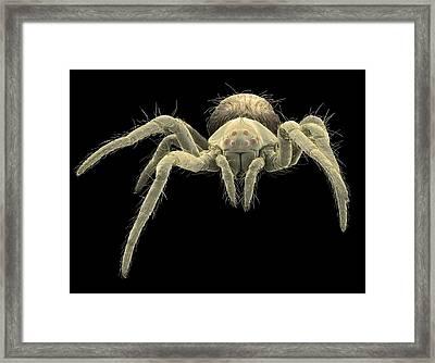 European Garden Spiderling Framed Print by Steve Gschmeissner