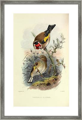 European Goldfinch Framed Print by Natural History Museum, London
