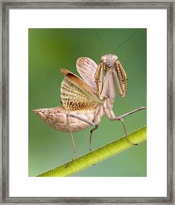 European Mantid Framed Print by Robert Jensen