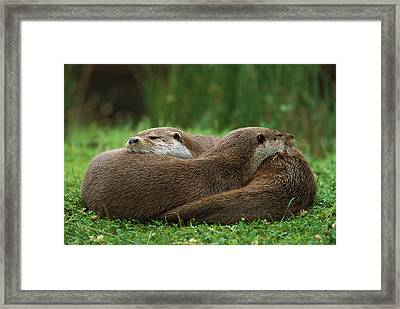 European River Otter Lutra Lutra Framed Print by Ingo Arndt