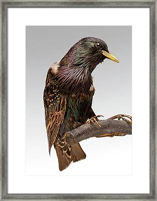 European Starling Framed Print by Ucl, Grant Museum Of Zoology