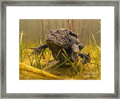 European Toad Pair Mating Noord-holland Framed Print by Jan Smit