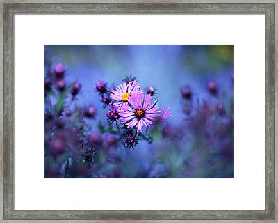 Evening Asters Framed Print by Jessica Jenney
