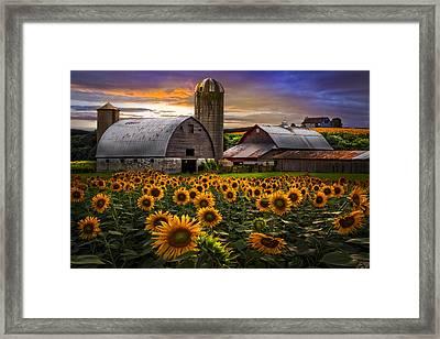 Evening Sunflowers Framed Print by Debra and Dave Vanderlaan