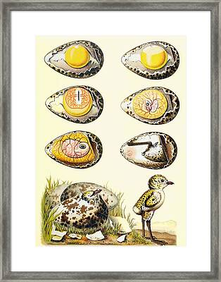 Evolution Of A Chicken Within An Egg Framed Print by European School