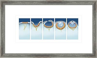 Evolution Of The Eye, Artwork Framed Print by Science Photo Library