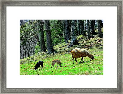 Ewe And Spring Lambs Grazing Framed Print by Thomas R Fletcher