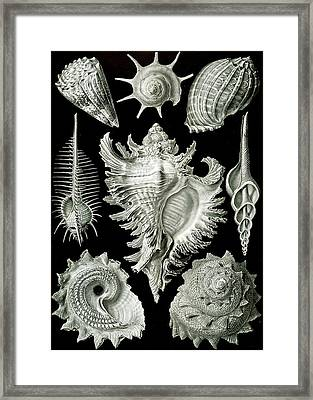 Assorted Sea Shells Framed Print by Ernst Haeckel