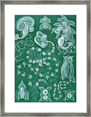 Examples Of Siphonophorae Framed Print by Ernst Haeckel