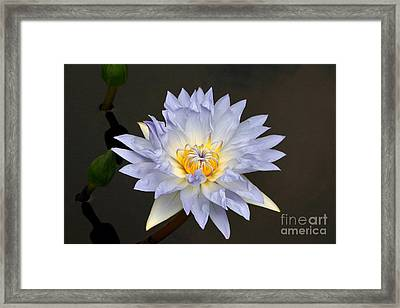 Exquisite Lavender Waterlily Framed Print by Byron Varvarigos