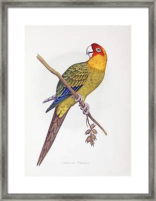 Extinct Carolina Parrot Parakeet America Framed Print by Paul D Stewart