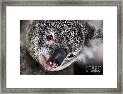 Eye Am Watching You - Koala Framed Print by Kaye Menner