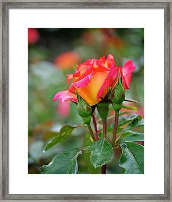 Eye Candy Framed Print by Rona Black
