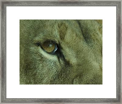 Eye Of The Lion Framed Print by Ernie Echols