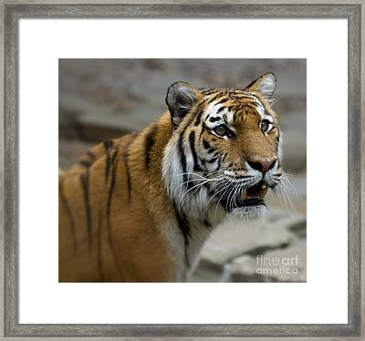Eye Of The Tiger Framed Print by Terry Weaver