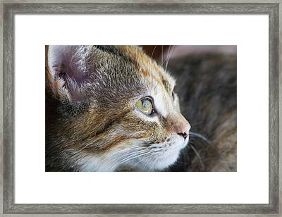 Face Of Domestic Shorthaired Framed Print by Piperanne Worcester