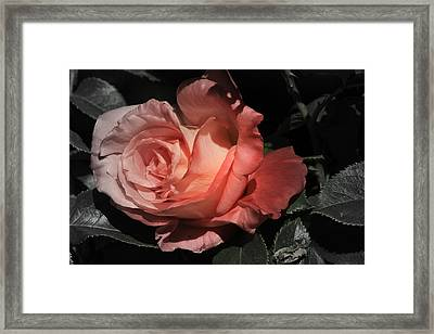 Fading Rose Framed Print by Donna Kennedy