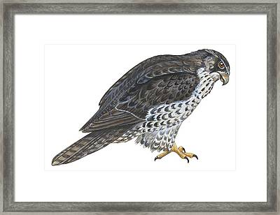 Falcon Framed Print by Anonymous