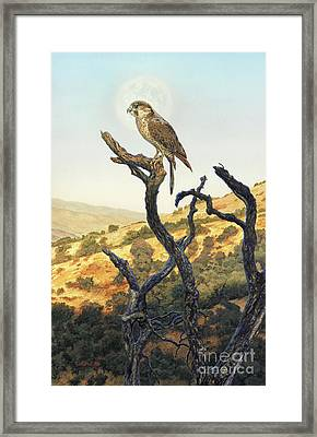 Falcon In The Sunset Framed Print by Stu Shepherd