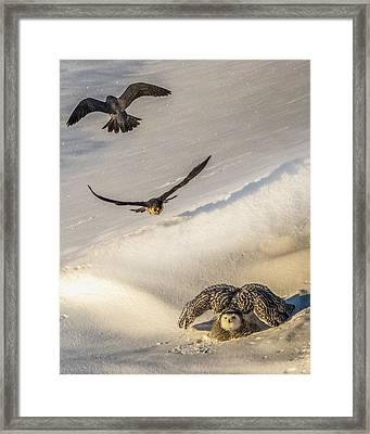 Falcons Attack Snowy Owl Framed Print by Bob Orsillo