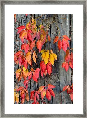 Fall Foliage Framed Print by Corinne Rhode