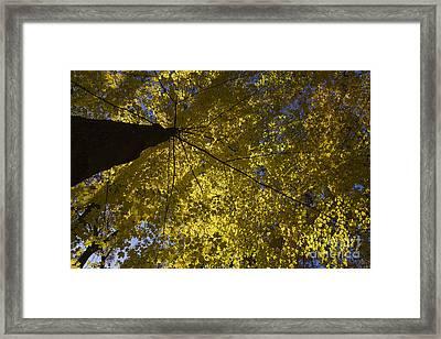 Fall Maple Framed Print by Steven Ralser