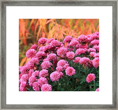 Fall Mums Framed Print by Dan Sproul