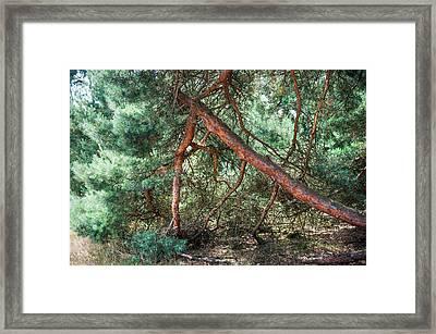 Falling Pine Tree In Veluwe National Park. Netherlands. Framed Print by Jenny Rainbow