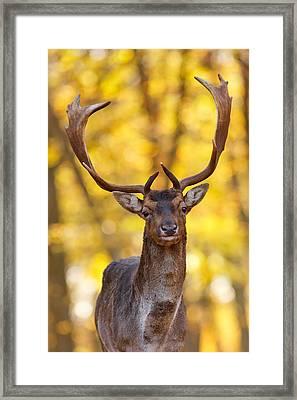 Fallow Deer In Autmn Forest II Framed Print by Roeselien Raimond