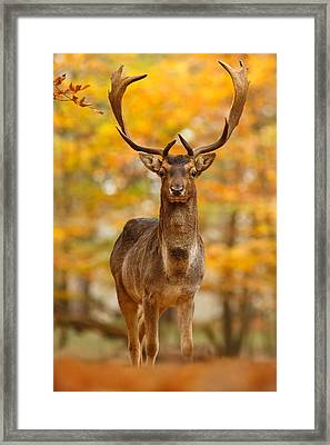 Fallow Deer In Autumn Forest Framed Print by Roeselien Raimond