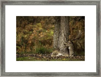 Fallow Deer Sitting Down Framed Print by Ruben Vicente