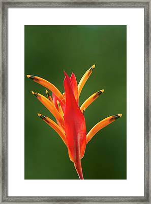 False Bird-of-paradise Flower Framed Print by David Wall