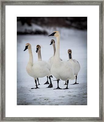 Family Of Trumpeter Swans Framed Print by Chris Hurst