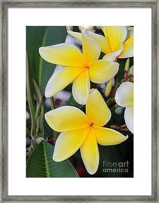 Fancy Yellow Frangipani Framed Print by Sabrina L Ryan
