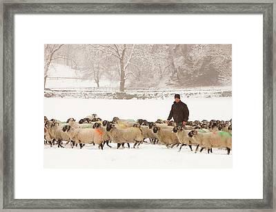Farmer Feeding Sheep In Winter Framed Print by Ashley Cooper