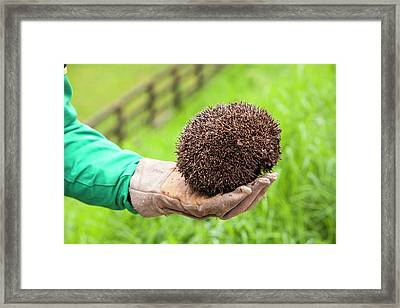 Farmer Rescues Hedgehog From Cattle Grid Framed Print by Ashley Cooper