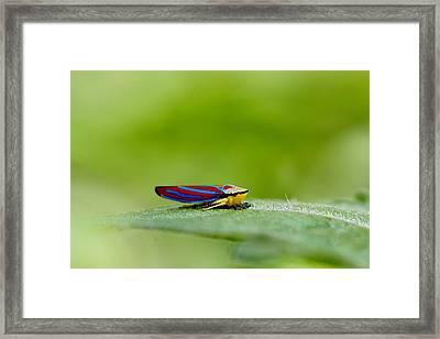 Fashion Bug - Leafhopper Framed Print by  Andrea Lazar