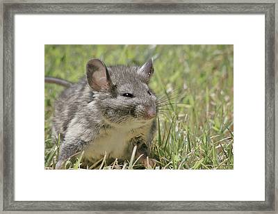 Fat Norway Rat Framed Print by Christine Till
