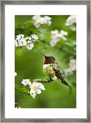 Fauna And Flora - Hummingbird With Flowers Framed Print by Christina Rollo