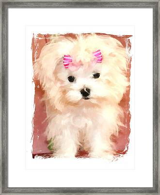 Faux Maltese Bella Framed Print by Margaret Newcomb