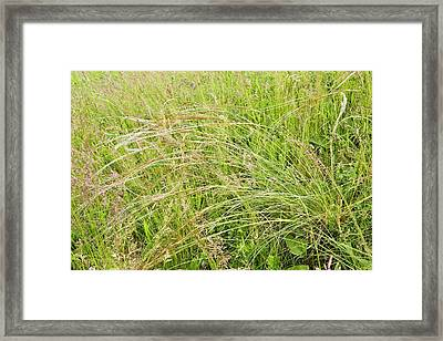 Feather Grass (stipa Pennata) In Flower Framed Print by Bob Gibbons