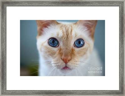 Felis Catus - Blue Eyed Flaimpoint Siamese Cat Closeup Framed Print by David Gilder