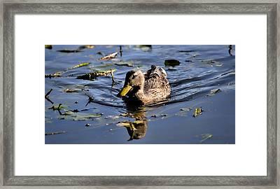 Femail Duck- Female Mallard Swimming Framed Print by Leif Sohlman