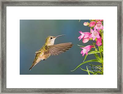 Female Broad-tailed Hummingbirds Framed Print by Anthony Mercieca