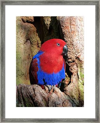 Female Eclectus Parrot Resting Framed Print by Margaret Saheed