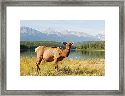 Female Elk (cervus Canadensis) Framed Print by Ashley Cooper