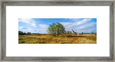 Female Giraffe With Its Calf Framed Print by Panoramic Images
