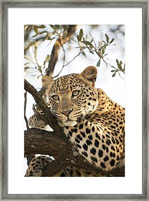 Female Leopard Resting In A Tree Framed Print by Science Photo Library
