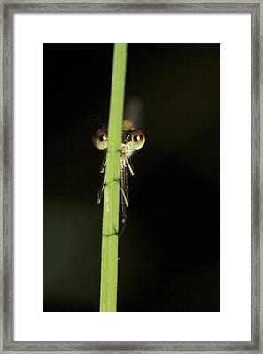 Female Metallic Ringtail Damselfly Framed Print by Gerry Pearce